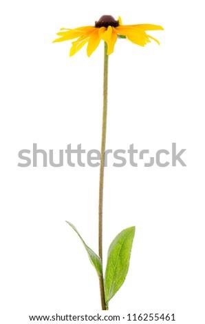 Beautiful sunflower on white background. - stock photo