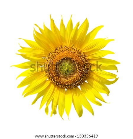 Beautiful sunflower on white background - stock photo