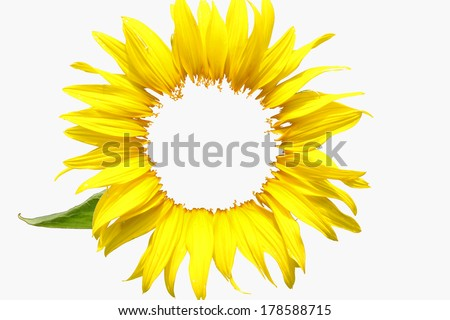 beautiful sunflower petals isolated on a white background - stock photo