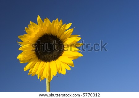Beautiful sunflower with a blue sky on the background - stock photo