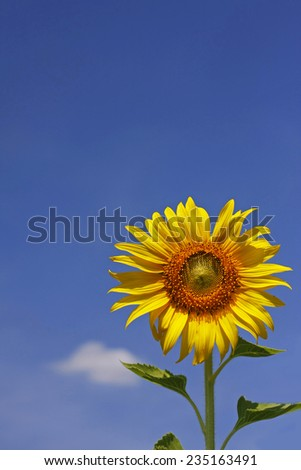 beautiful sunflower with blue sky.