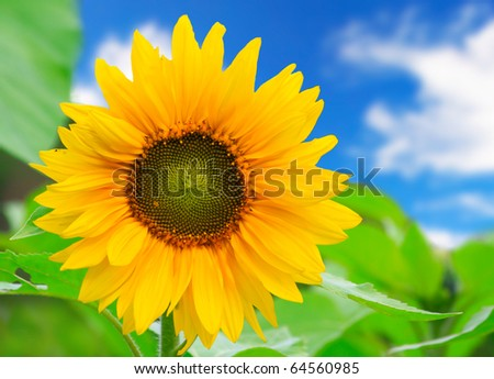 beautiful sunflower with green leaves - stock photo