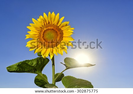 Beautiful sunflower with sun on its leave against blue vivid sky