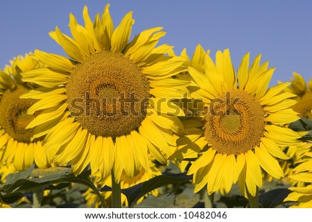Beautiful Sunflowers - stock photo
