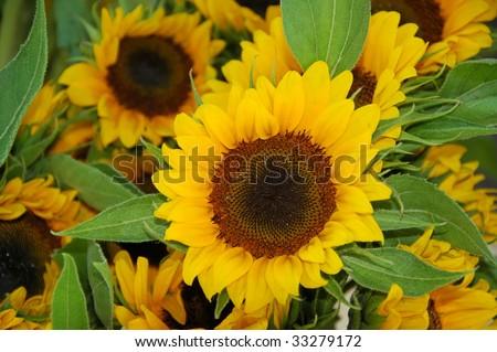 Beautiful Sunflowers - stock photo