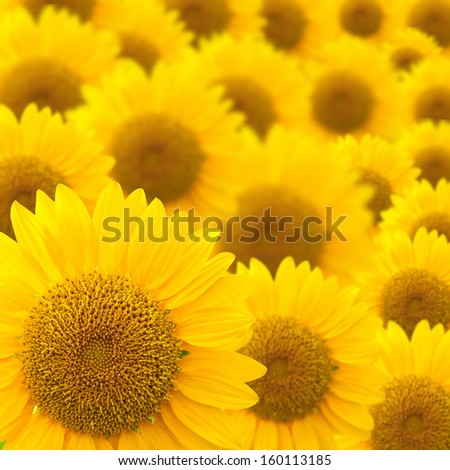 beautiful sunflowers abstract for background
