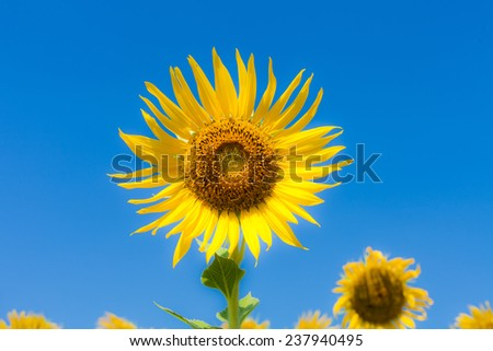 beautiful sunflowers at the field with blue sky background - stock photo