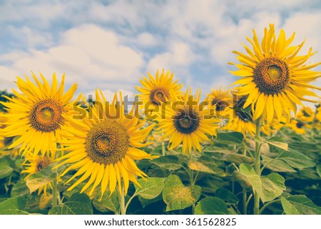 Beautiful Sunflowers in field, soft color, vintage style - stock photo