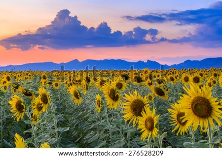 beautiful sunflowers in spring field - stock photo
