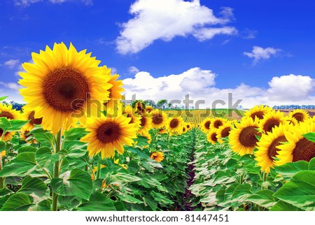 Beautiful sunflowers in the field - stock photo