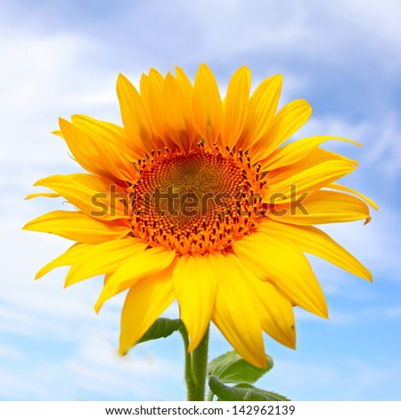 Beautiful sunflowers in the field with bright blue sky with clouds - stock photo