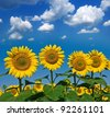 beautiful sunflowers on a blue sky background - stock photo