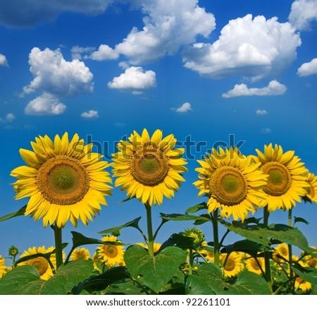 beautiful sunflowers on a blue sky background - stock photo