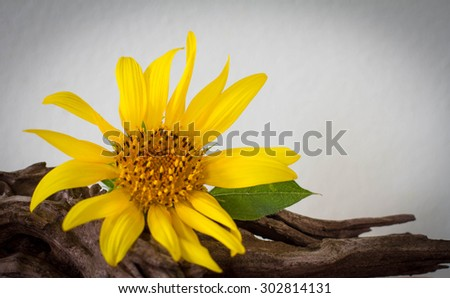 Beautiful sunflowers on old wood on white background