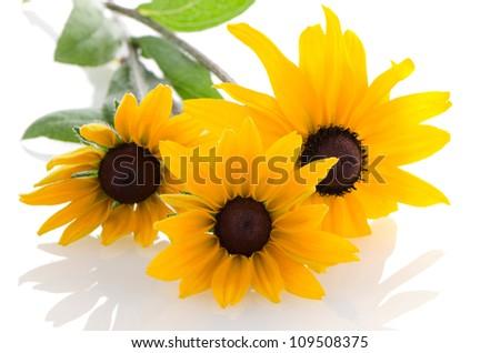 Beautiful sunflowers on white background. - stock photo