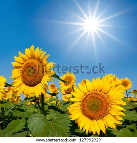 beautiful sunflowers under a sparkle sun - stock photo