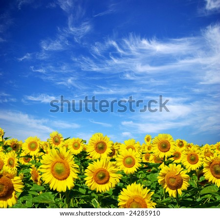 beautiful sunflowers with blue sky - stock photo