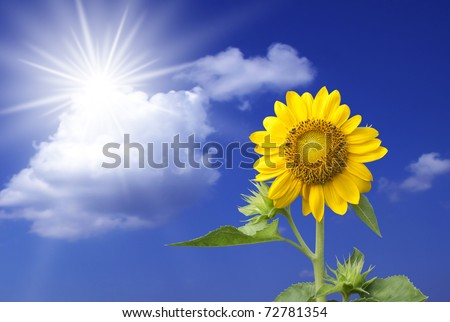 beautiful sunflowers with blue sky and sun.
