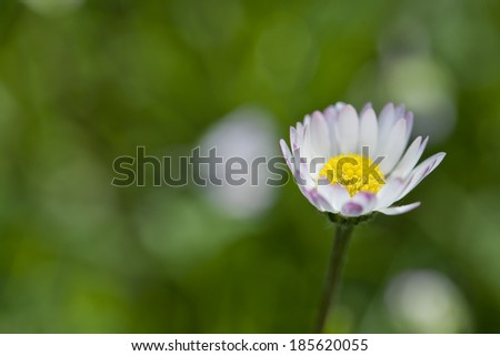 Beautiful sunny daisy flower (Bellis perennis)  - stock photo