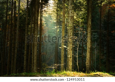 Beautiful sunny day into a pine tree forest | Rays of light into the forest create a mystic feel - stock photo