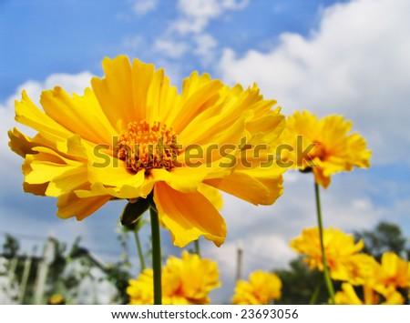 Beautiful sunny flower (Coreopsis grandiflora) - stock photo