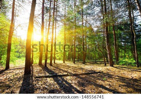 Beautiful sunrise in a pine forest in summer - stock photo