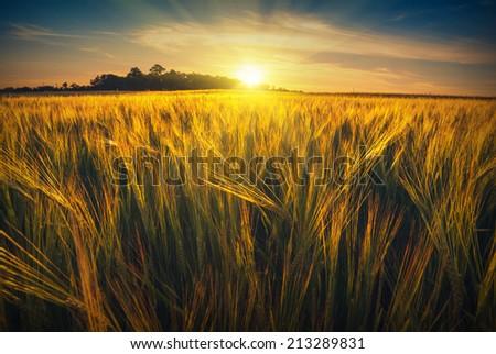 Beautiful sunrise in a wheat field of Ukraine - stock photo