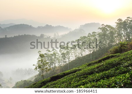 Beautiful sunrise over foggy tea plantation in Munnar, Kerala, India  - stock photo