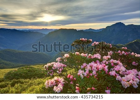 Beautiful sunrise scenery of Hehuan Mountain in central Taiwan in springtime, with view of lovely Alpine Azalea ( Rhododendron ) blossoms on grassy fields and dramatic golden clouds in the background - stock photo