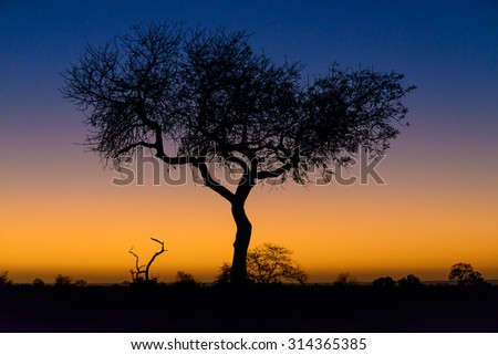 Beautiful sunrise tree silhouette, Kruger National Park, South Africa, 2015 - stock photo