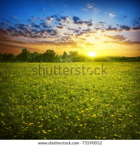 Beautiful sunset and  field of yellow dandelions. - stock photo