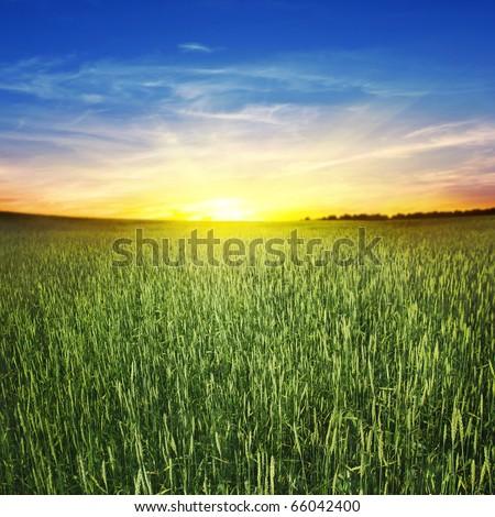 Beautiful sunset and wheat field. - stock photo