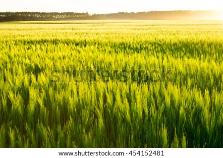 Beautiful sunset and wheat field. Beautiful sunset. Nature background. Copy space of the setting sun rays on horizon in rural meadow - stock photo