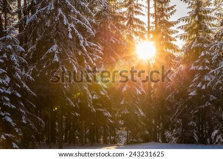 Beautiful sunset in the forest between the fir-trees in winter period - stock photo