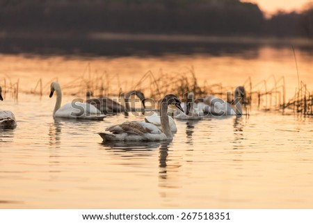 Beautiful sunset lake with swans swimming on water. - stock photo
