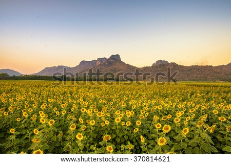 Beautiful sunset Landscape view of sunflower field with blue sky and cloud - stock photo