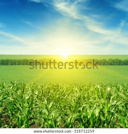 Beautiful sunset on corn field - stock photo