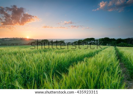Beautiful sunset over a field of lush barley growing in Cornwall