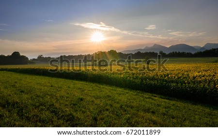 Beautiful sunset over a field of sunflowers in the italian countryside.