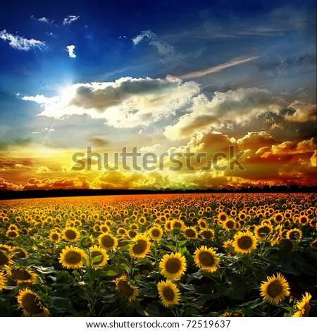 Beautiful sunset over a field with podsolnuzami - stock photo