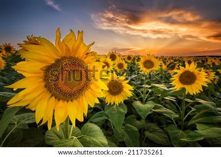 Beautiful sunset over a sunflower field - stock photo