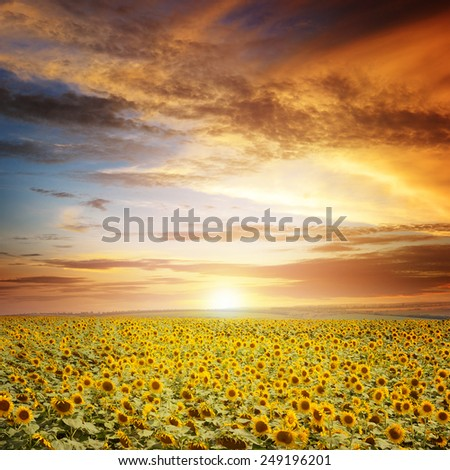 beautiful sunset over sunflowers field - stock photo