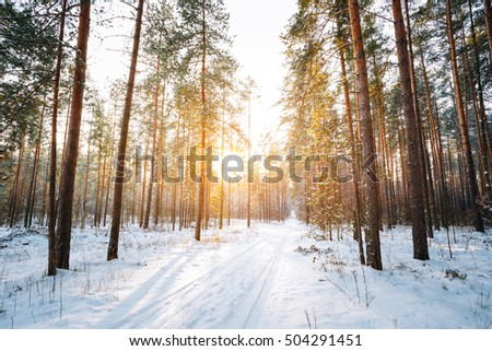 Beautiful Sunset Sunrise Sun Sunshine In Sunny Winter Snowy Coniferous Forest. Snowy Path, Road, Way Or Pathway In Winter Forest