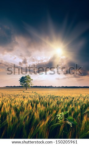 Beautiful sunset with lonely tree in a wheat field   - stock photo