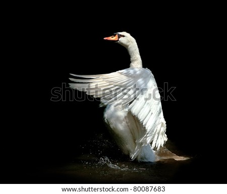 Beautiful swan - stock photo