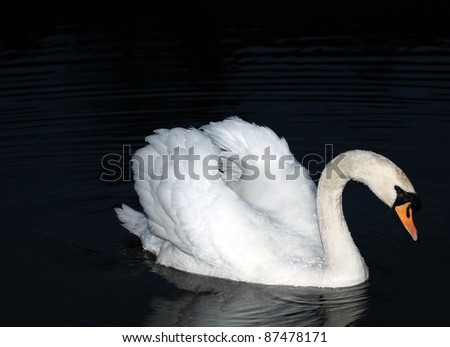 Beautiful Swan in Dark Pond - stock photo