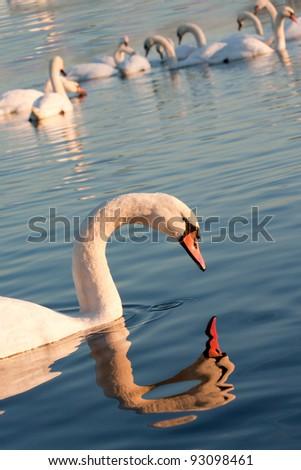 Beautiful swan looking at reflection - stock photo