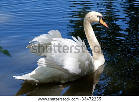 beautiful swan on the black background - stock photo