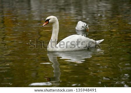 Beautiful swan on the lake - stock photo
