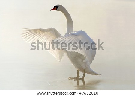 Beautiful swan standing on frozen lake and stretching out its wings. - stock photo